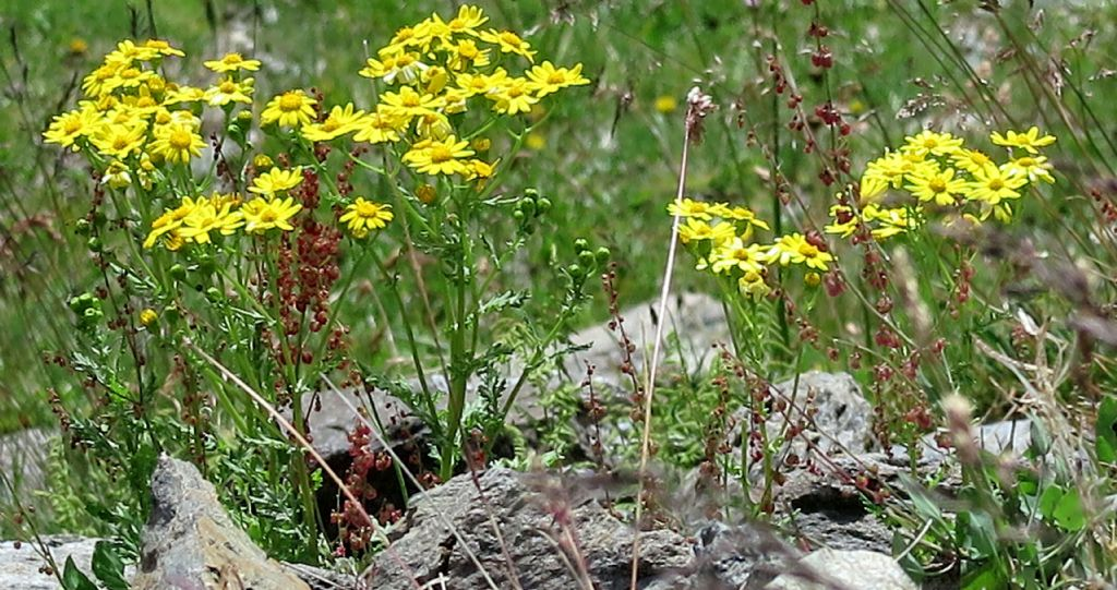 Jacobaea vulgaris o Senecio rupestris ?(Asteraceae)