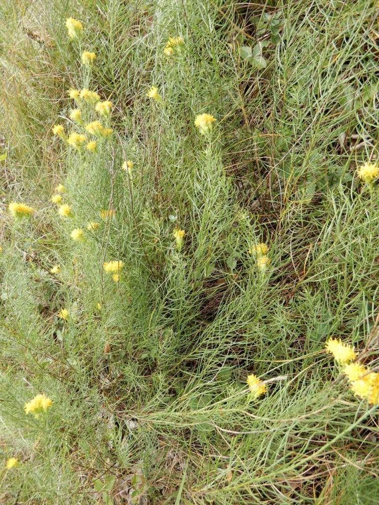 Galatella linosyris  / Astro spillo d''oro