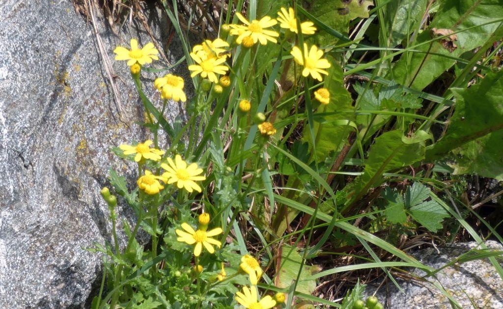 Senecio...?  No,  Jacobaea vulgaris (cfr.)