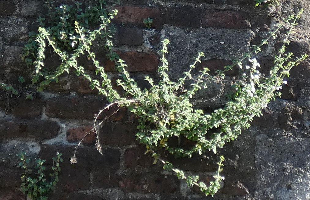 Clinopodium nepeta / Mentuccia (Lamiaceae)