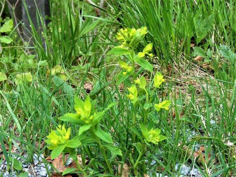 E'' una Euphorbia? Sì, Euphorbia carniolica