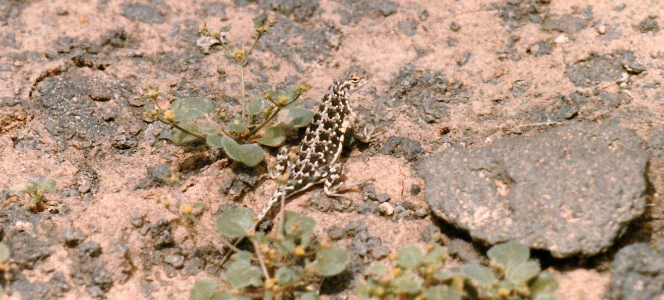 Lucertola dell''Arizona:  Holbrookia maculata