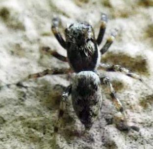 Salticus sp - Cazzago Brabbia (VA)