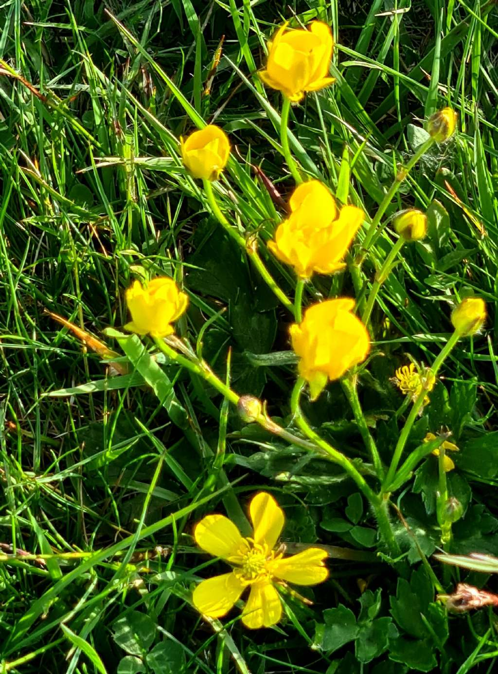 Ranunculus....sp.? cfr. serpens