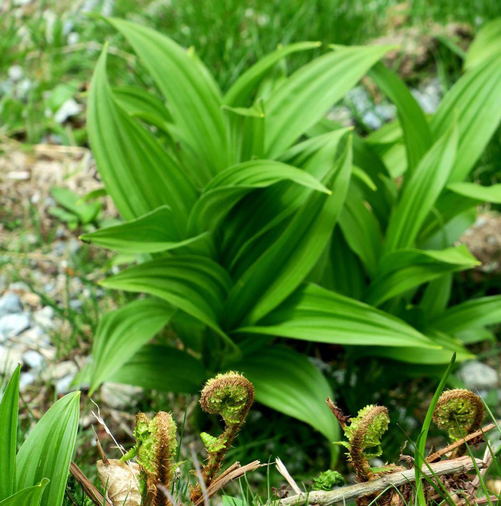 Grandi foglie: Veratrum album (Liliales - Melanthiaceae )