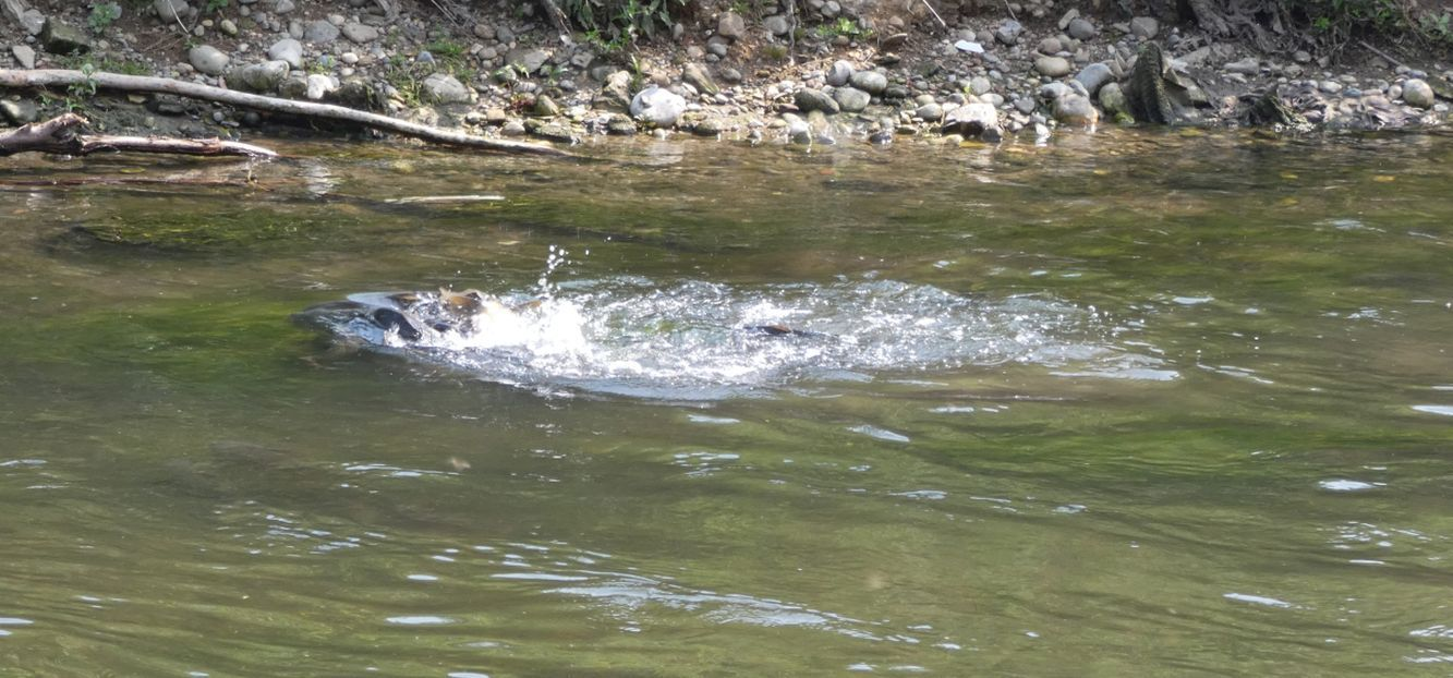 In un ribollire di acque: Carpe (Cyprinus carpio) in frega