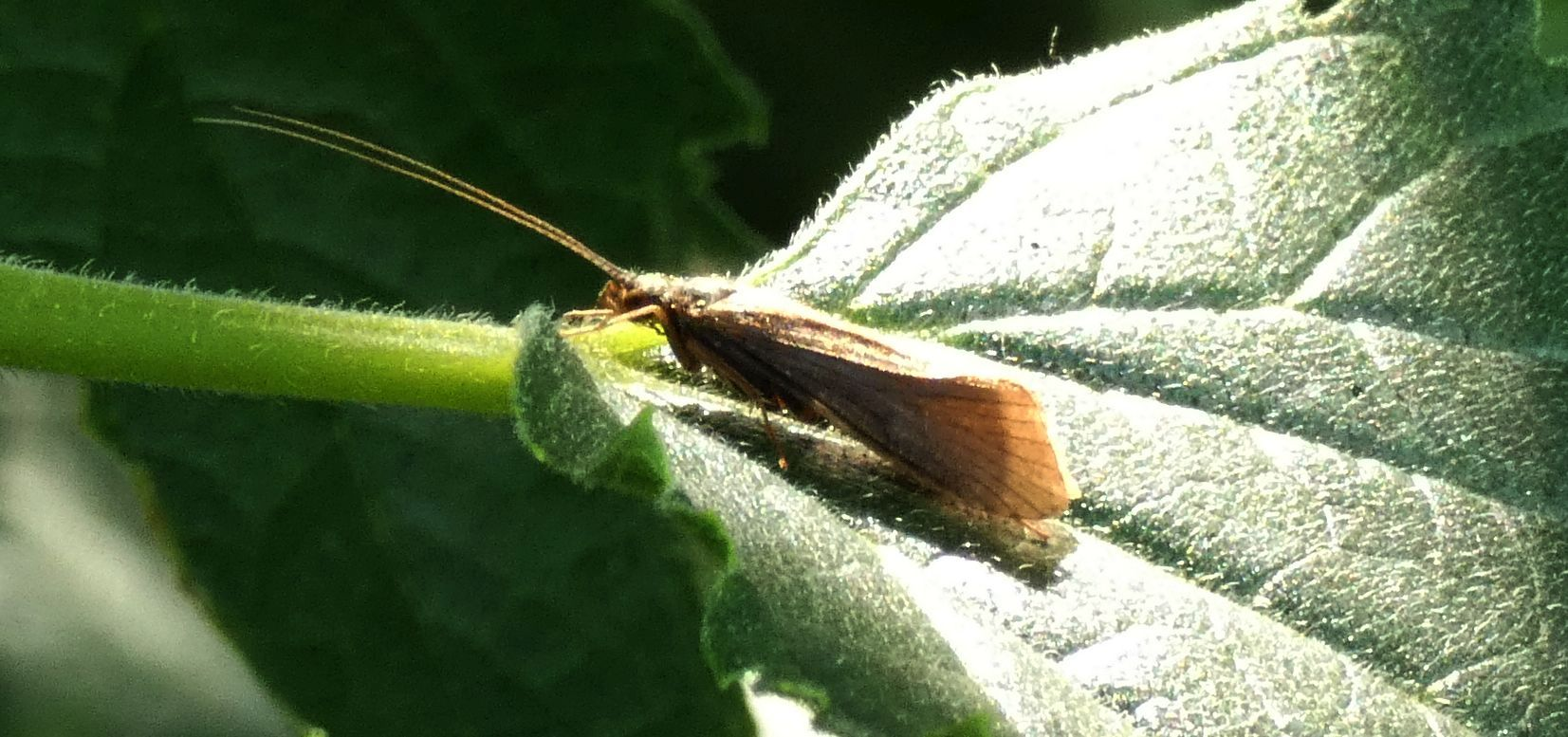 Hydropsyche sp. (Hydropsychidae)