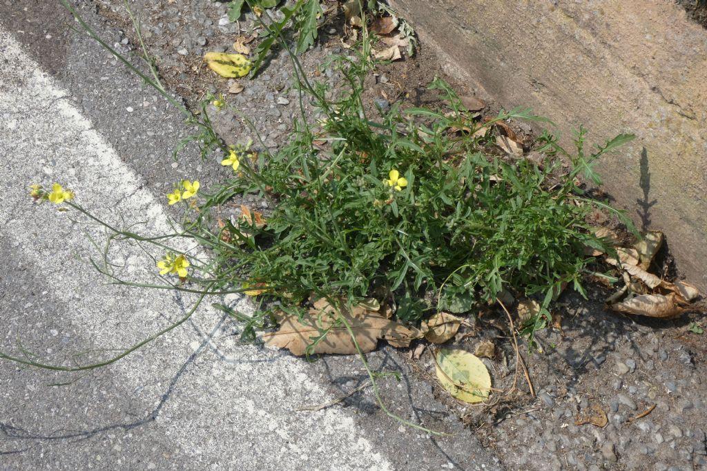 Brassicaceae: Diplotaxis tenuifolia? No, Diplotaxis muralis