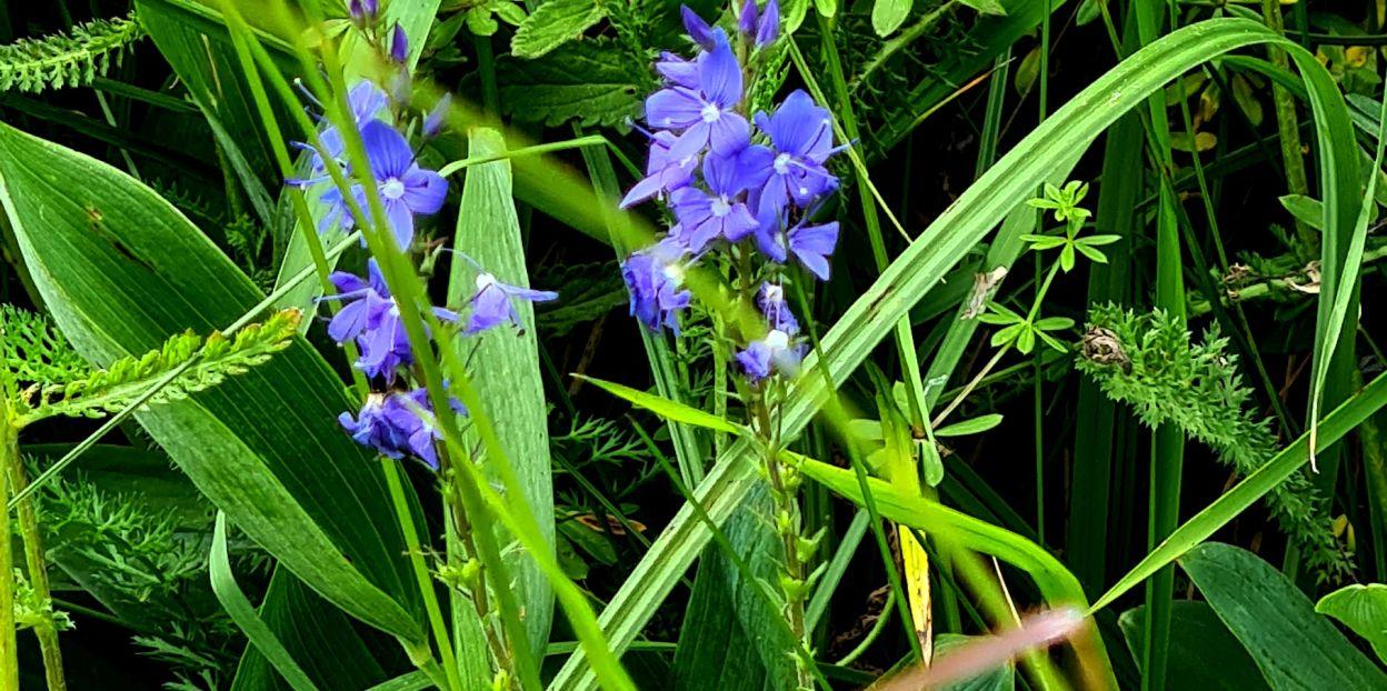 Veronica teucrium (Plantaginaceae)