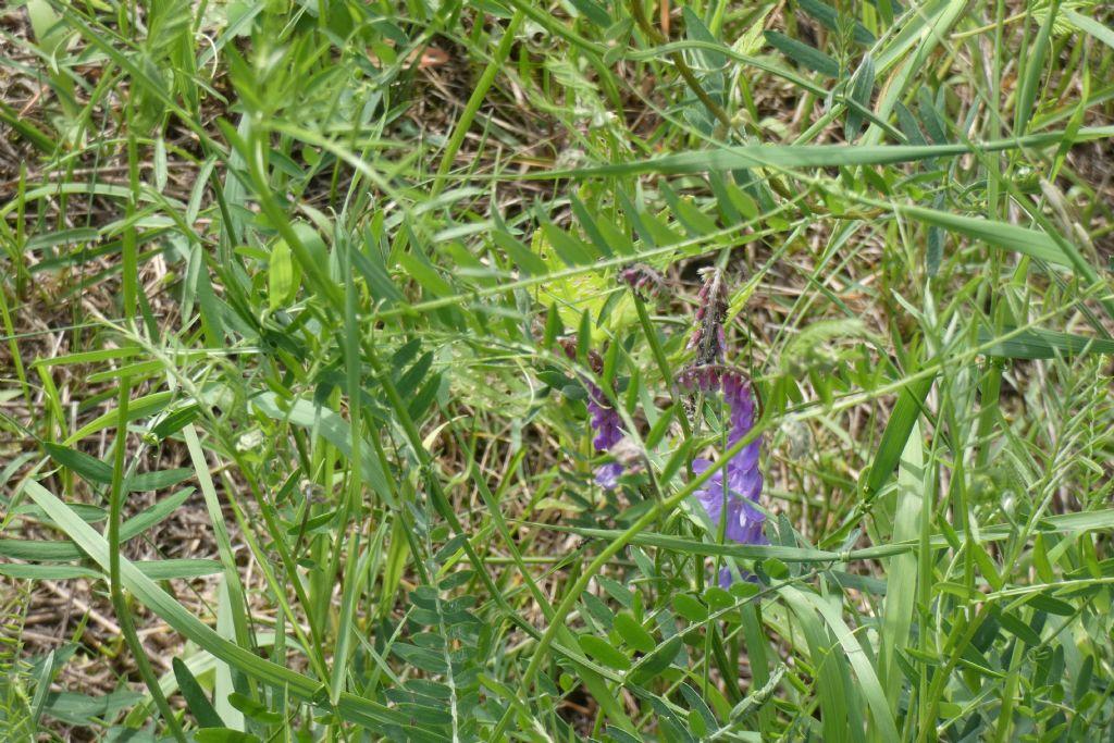 Fabaceae. Vicia incana?... Vicia gr. cracca