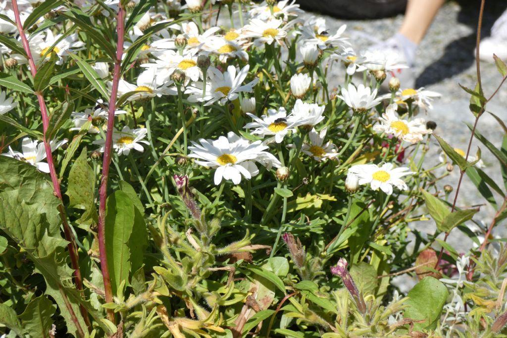 Asteraceae: Leucanthemum sp.  (gr. vulgaris)