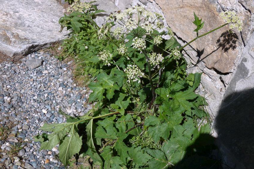Apiaceae:  Heracleum pyrenaicum