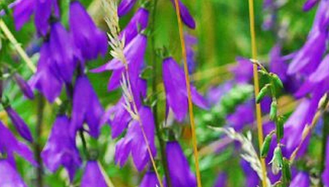 Grandi fiori viola: Campanula rapunculoides