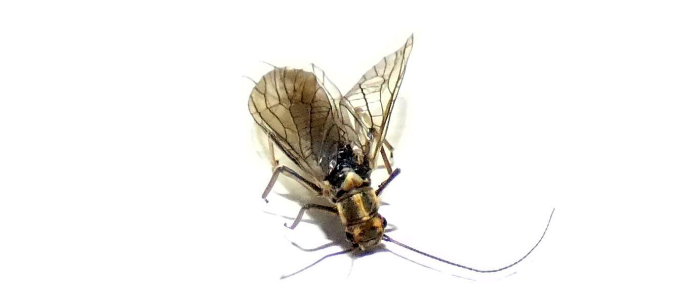 Perlodidae: Perlodes sp.