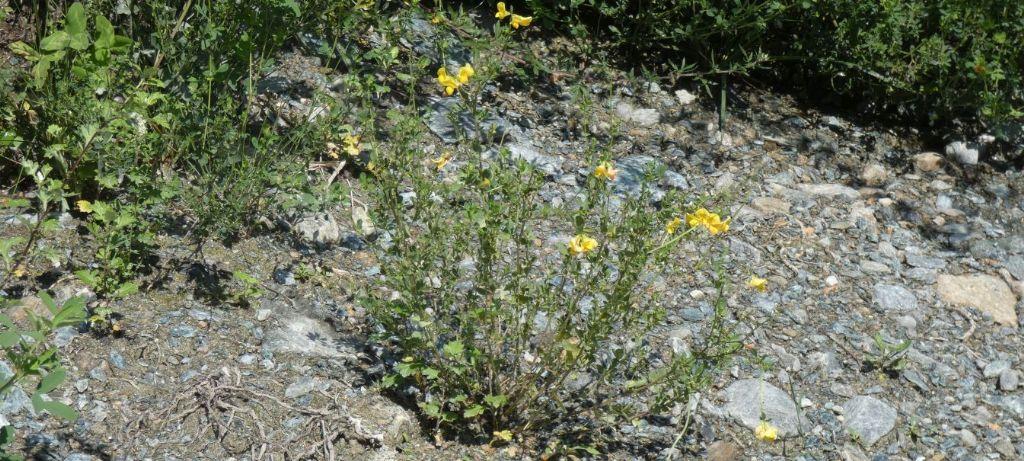 Fabaceae: Lotus...corniculatus