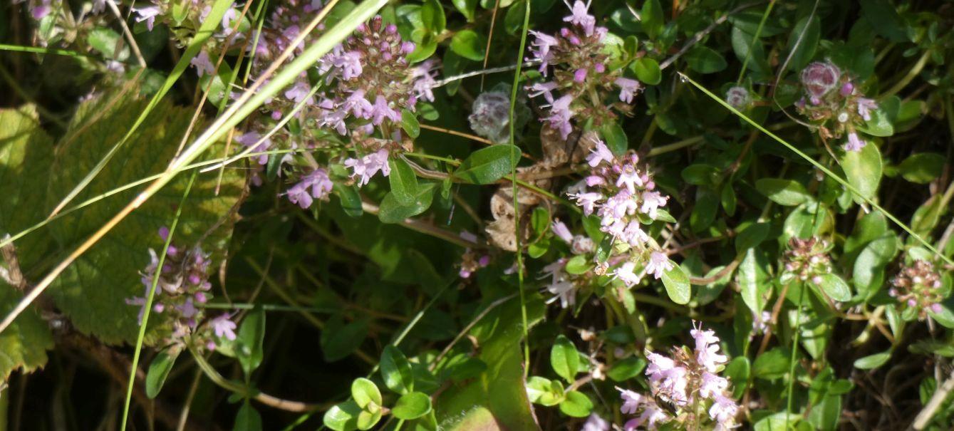 Lamiaceae: Thymus sp.