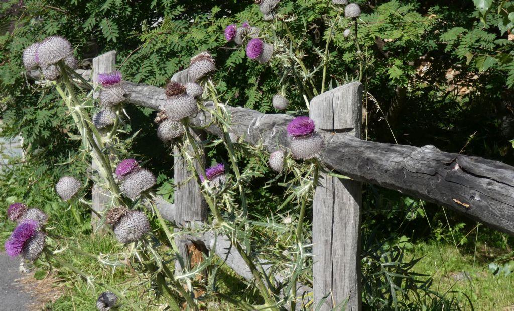 Cirsium eriophorum ?  Sì