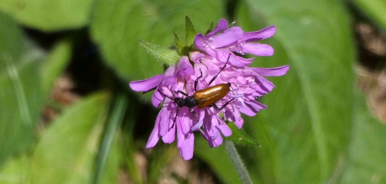 Cerambycidae: Stenurella melanura? No, Paracorymbia hybrida, femmina