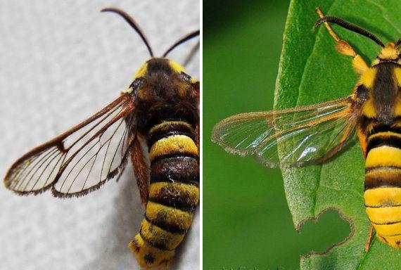 Ospite inatteso - Sesia apiformis