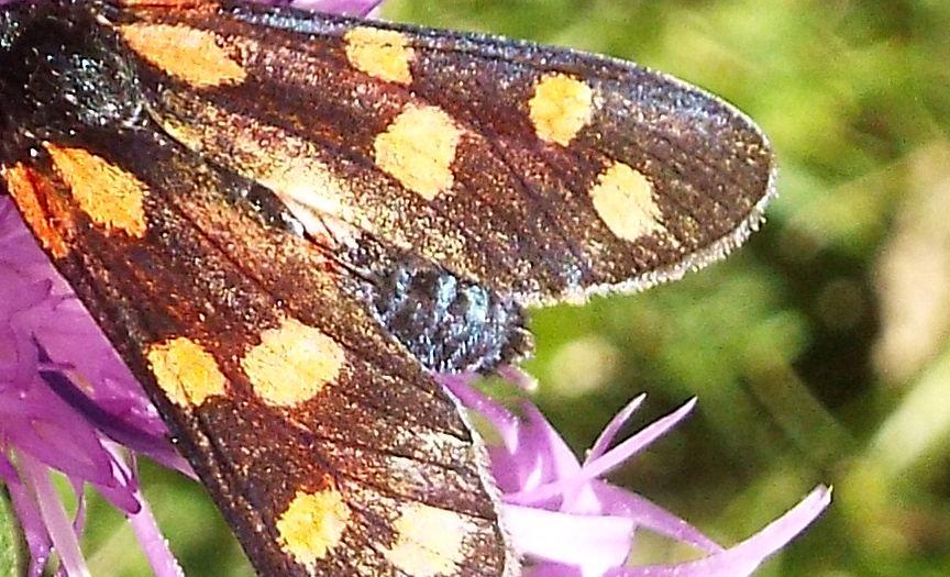Zygaenidae da identificare:  Zygaena transalpina