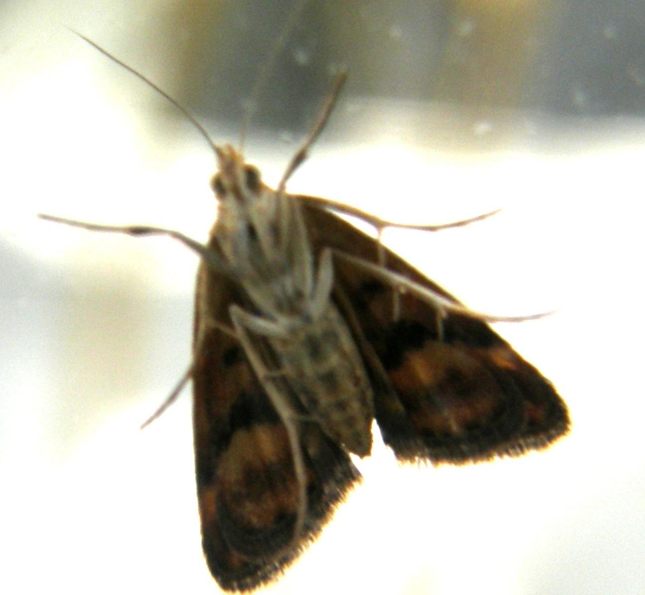 Al di là di un vetro - Pyrausta despicata (Crambidae)