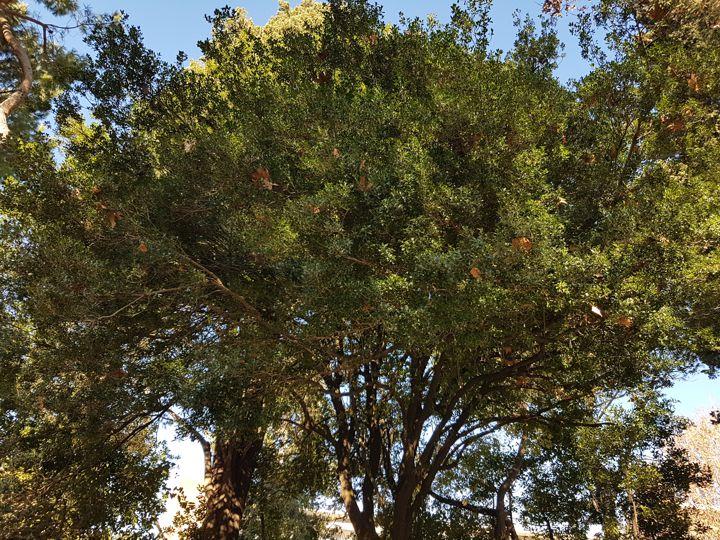 Albero incognito:  Phillyrea latifolia (Oleaceae)