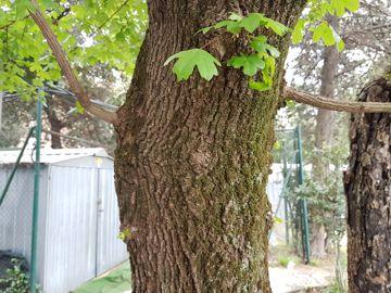 Acero da determinare: Acer campestre