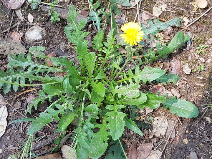 Asteraceae: Crepis bursifolia