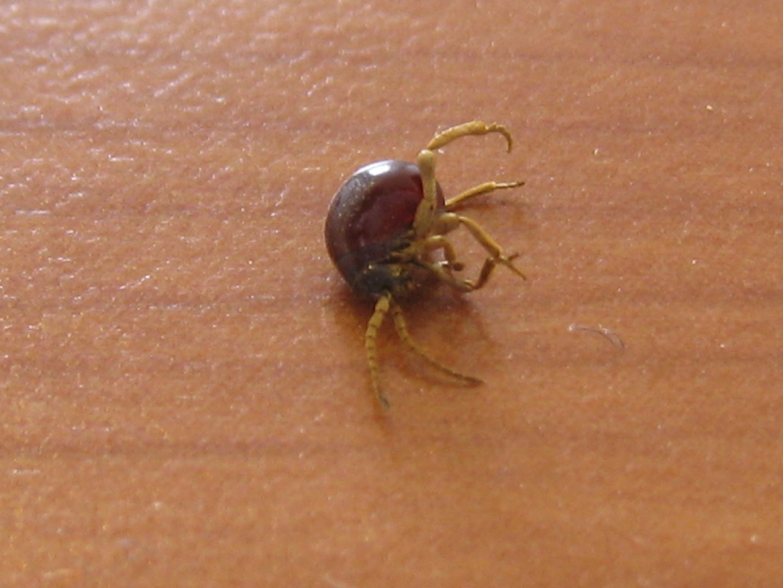 Identificazione insetti in casa anobiidae ptnina cfr - Piccoli insetti in casa ...