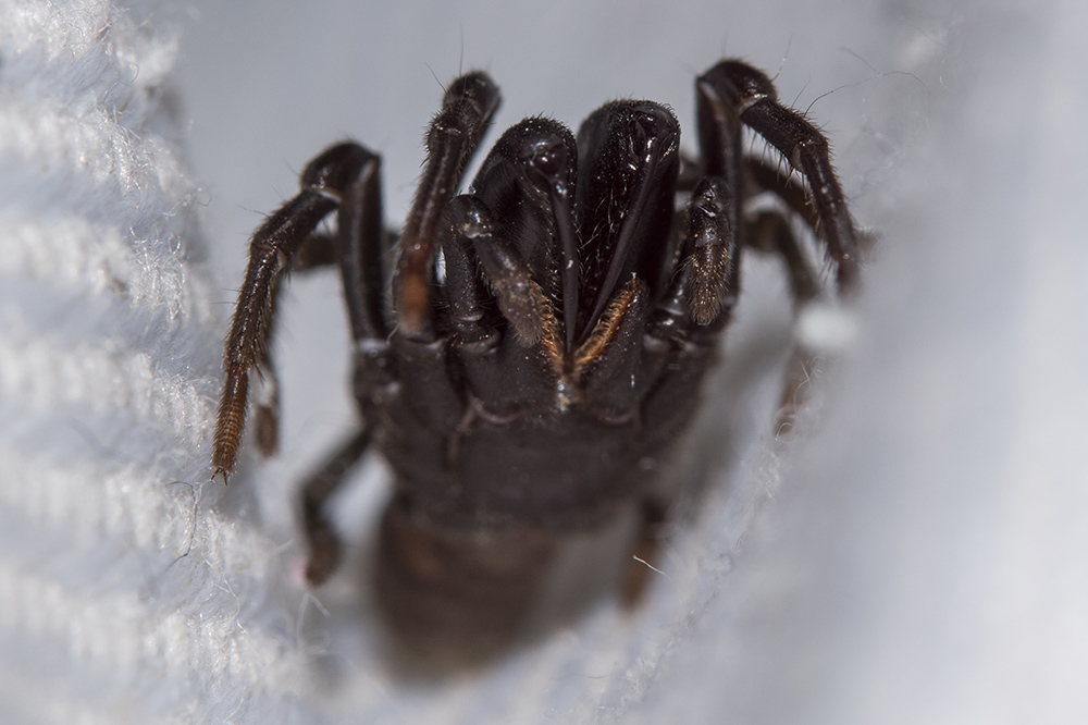 Maschio di Atypus sp. - Fiesole (FI)