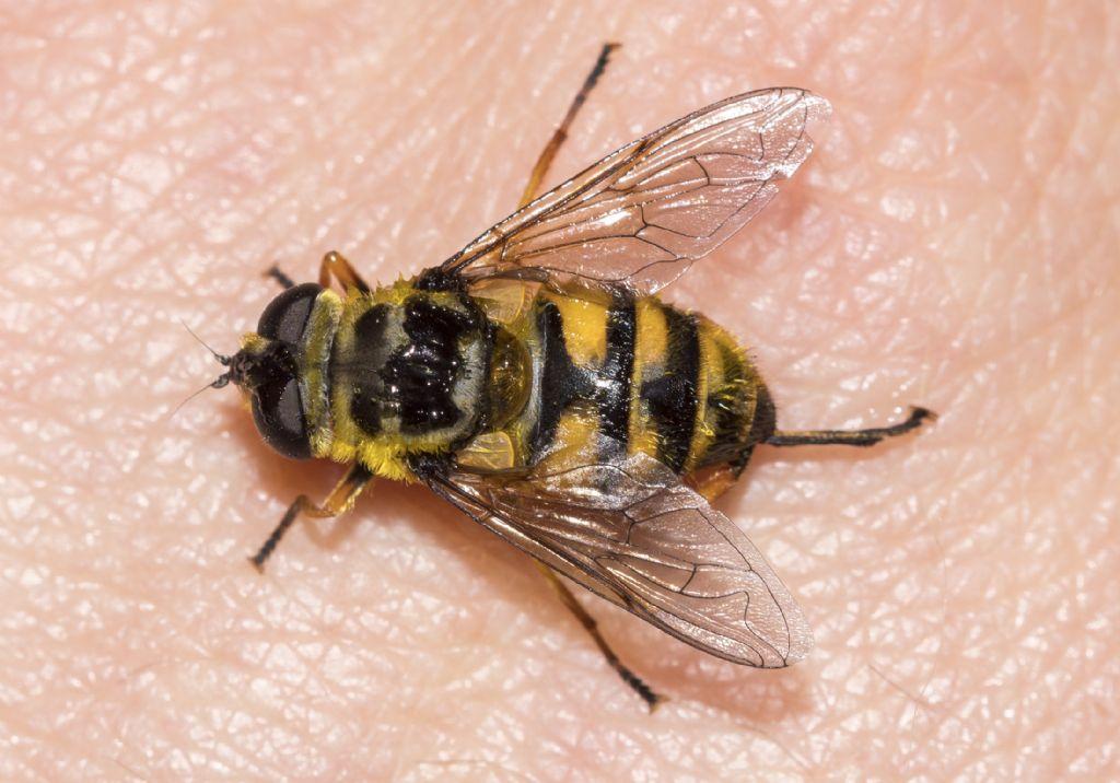 Syrphidae: Myathropa florea, femmina
