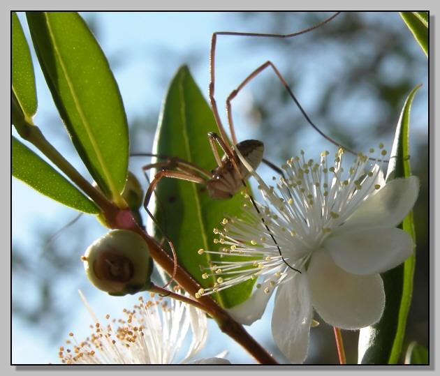 Opiliones in vena romantica nel Myrtus communis
