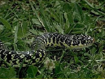 La fauna casentinese for Serpente frustone