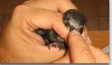 recupero piccoli uccelli