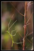 Clonopsisgallica