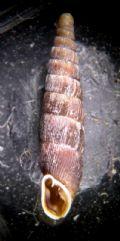 Clausiliadubia vindobonensis