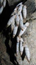 Albinariacretensis cf