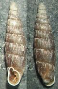 Clausiliarugosa parvula