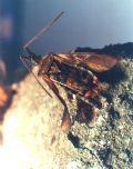 Leptoglossusoccidentalis