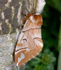 Endromisversicolora