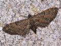 Eupitheciatenerifensis