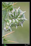 Apochimaflabellaria