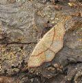 Cyclophora (Codonia)punctaria