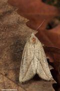 Compsopteraopacaria