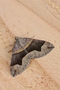 Scotopteryxangularia