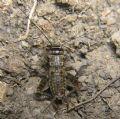 Eumodicogryllusbordigalensis