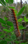Lasiocampaquercus