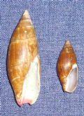 Mitracornea