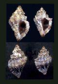 Ocinebrinahybrida