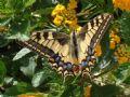 Papiliomachaon